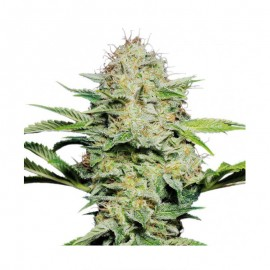 Sensi Seeds Sensi Skunk Automatic x3