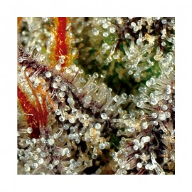 Tricoma Seeds Diesel Haze Auto x3
