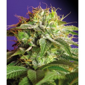 Sweet Seeds Green Poison Feminizada x3