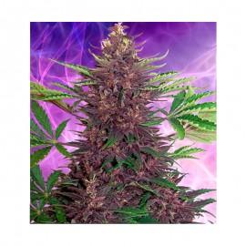 Buddha Seeds Purple Kush Auto x5