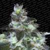 Paradise Seeds Original White Widow (IBL) Feminizada x3