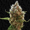 Paradise Seeds Lucid Bolt x3 Feminizada