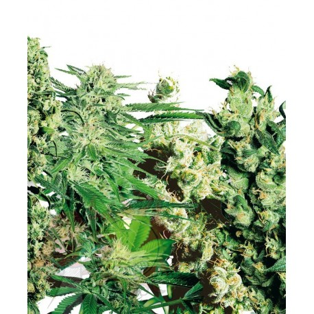 Sensi Seeds Feminized Mix x5