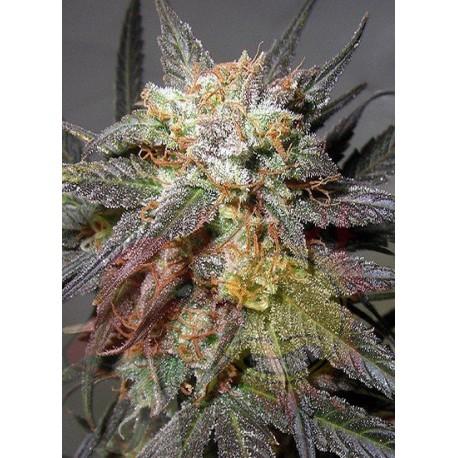 Tricoma Seeds Northern Lights 5 x Haze Auto x3