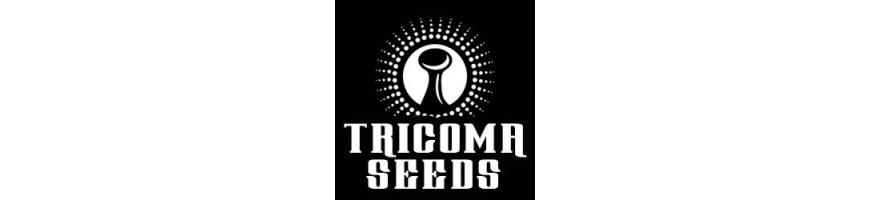 Tricoma Seeds Fem